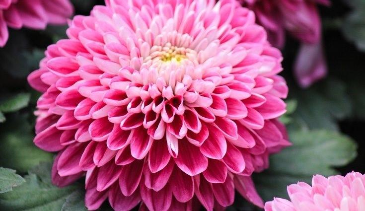 mitos y leyendas del crisantemo